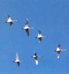 Avian-migration-Swans